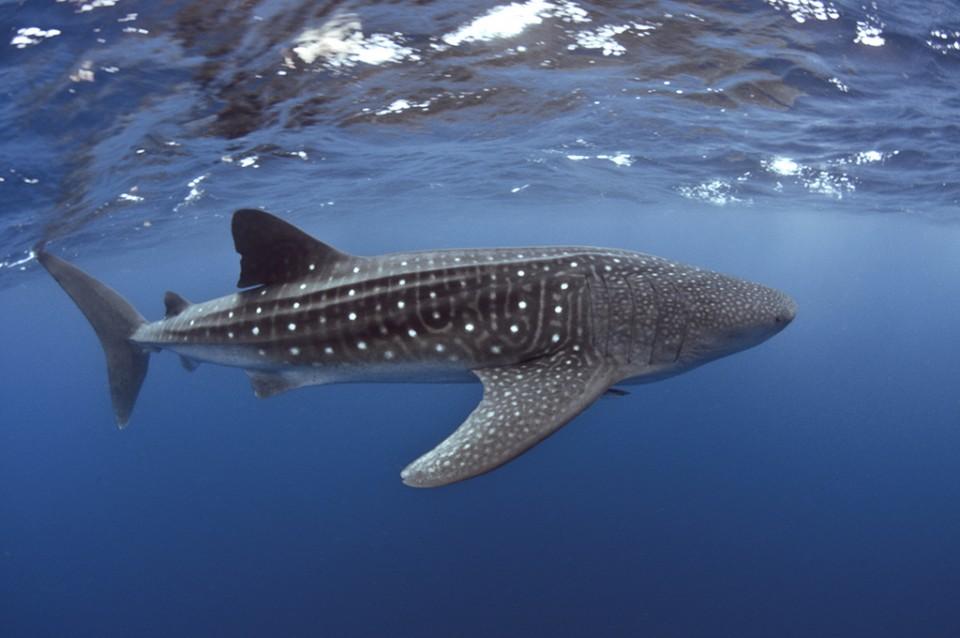 Bucket list activities: Whale sharks