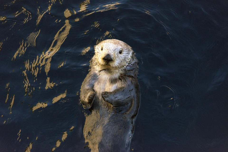 Sea otters are one of the most popular residents at the Monterey Bay Aquarium.