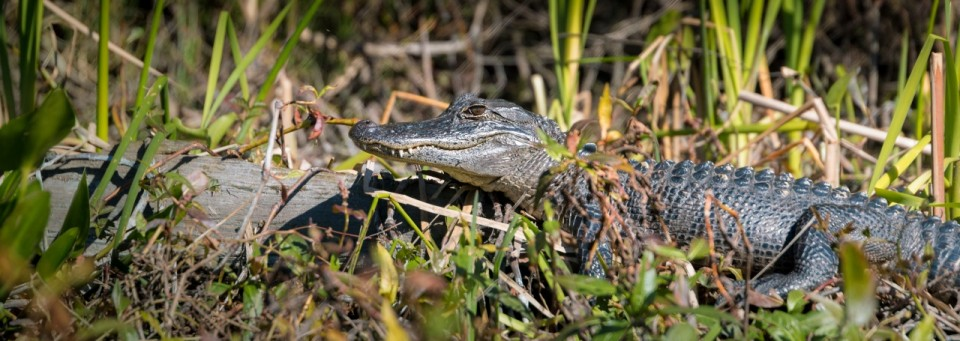 Gator near Wakulla Springs