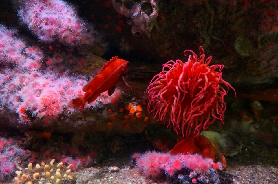 Anemone at Monterey Bay Aquarium
