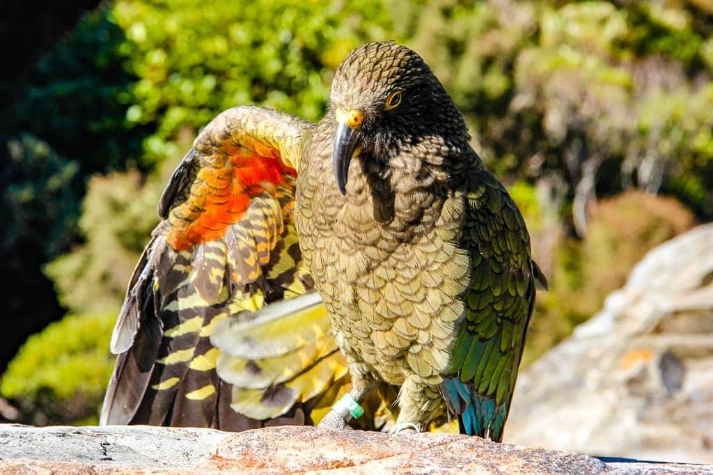 Cheeky Kea, New Zealand - HoneyTrek.com