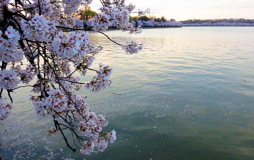 National Cherry Blossom Festival