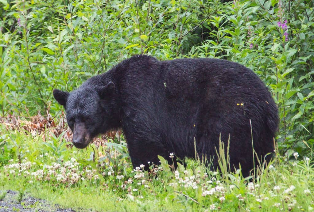Black bear grazing on the side of the road,