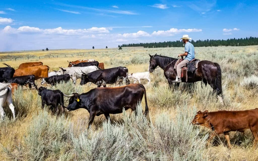 Montana Vacation - Driving Cattle