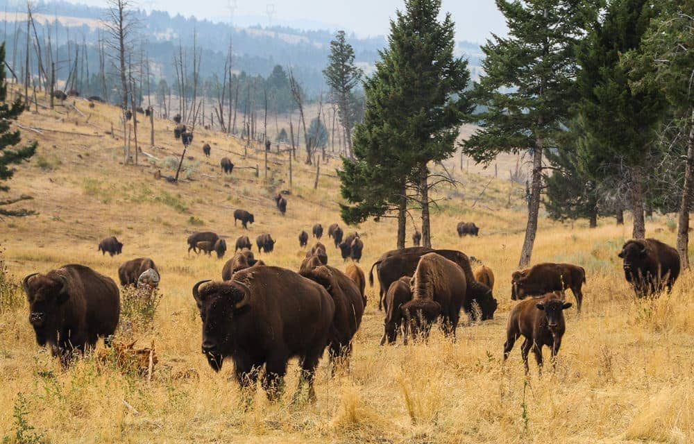 Montana Vacation - Bison Quest