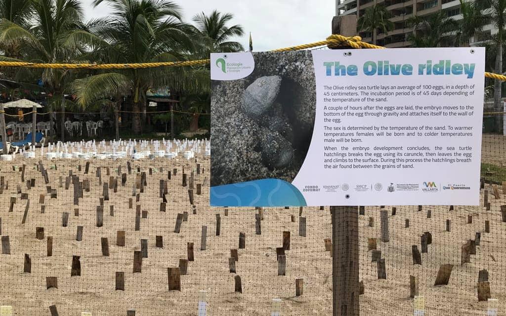 Olive ridley sea turtle sanctuary