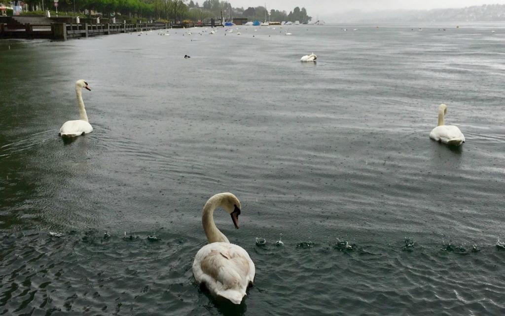 How to Spend a Leisurely Escape in Zurich - Zurich Swans Lake Zurich, Travelocity