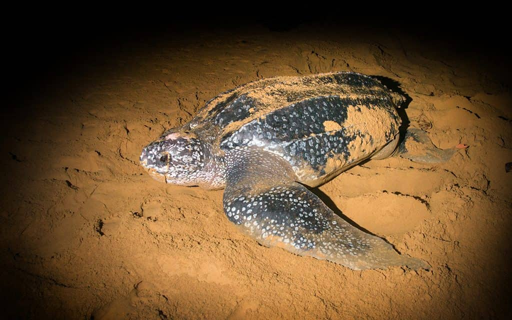 Things to do in Space Coast Florida- sea turtle walks