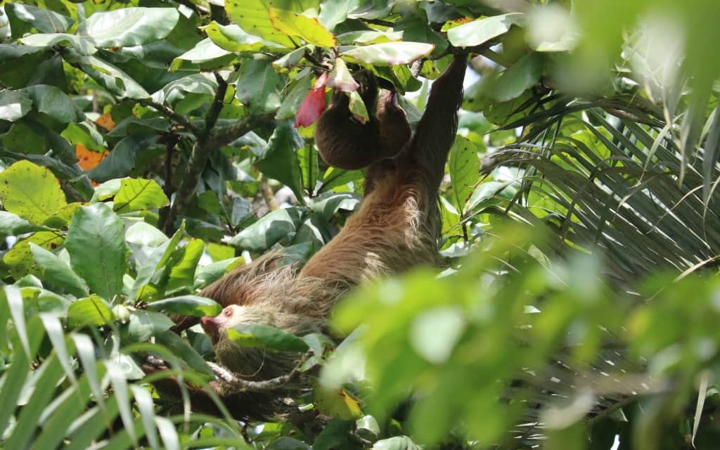 Costa Rica Best Experiences Sloth Sighting-Kirsten Maxwell