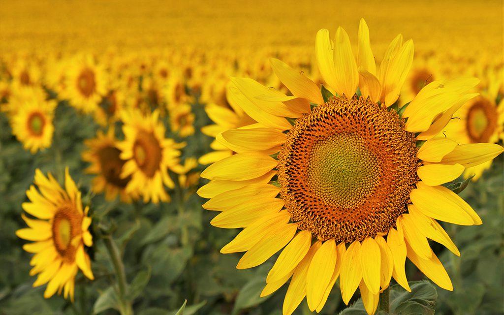 North Dakota, sunflowers
