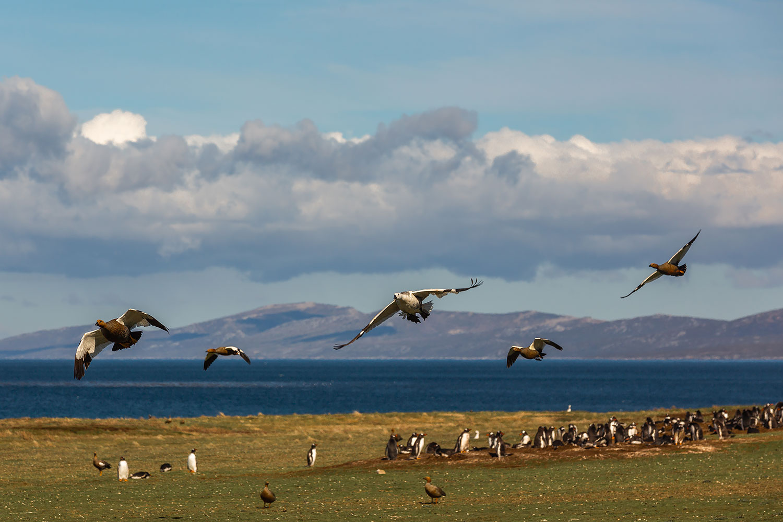 Falkland Islands Carcass Island