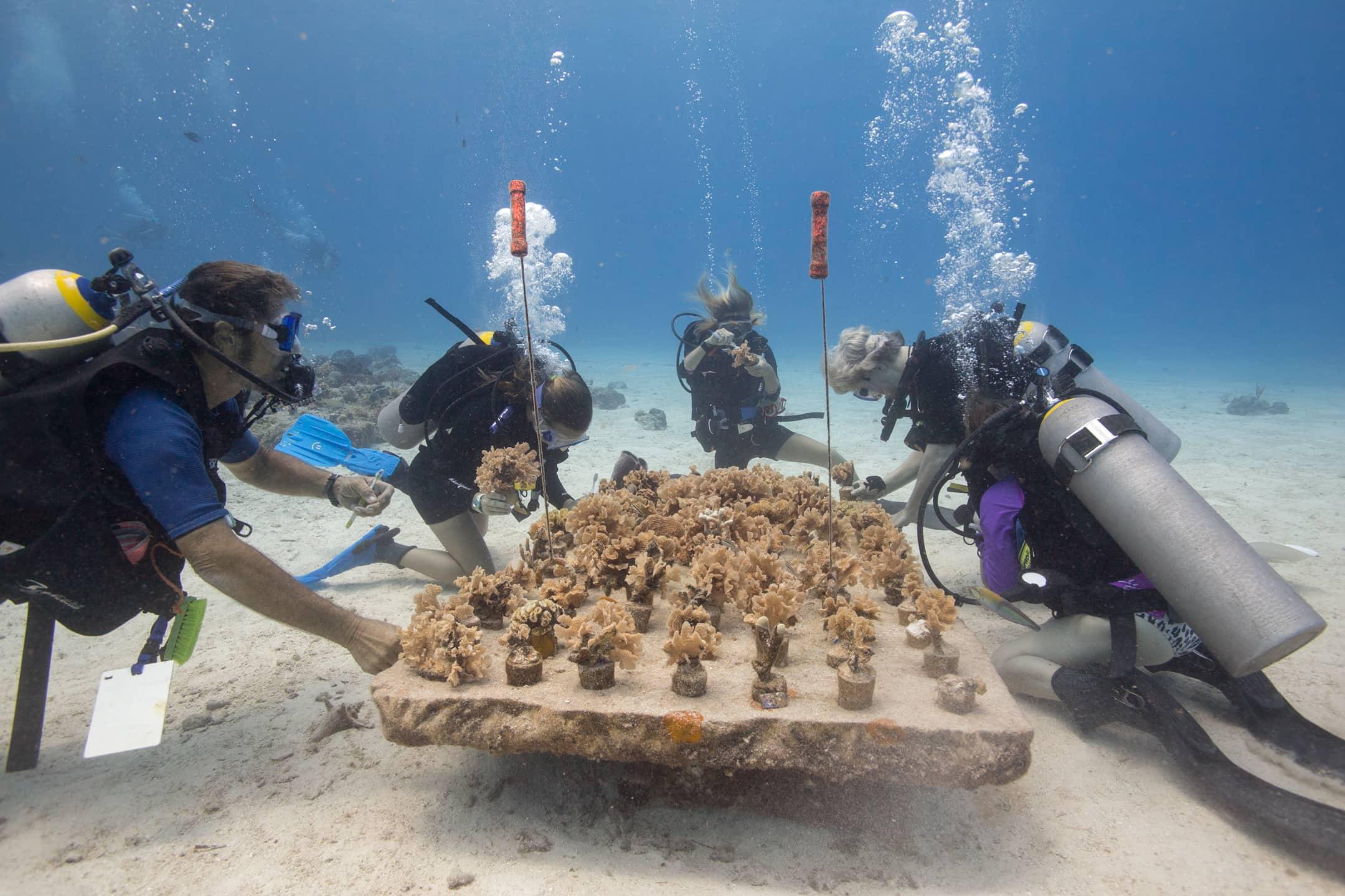 Cozumel Coral Reef Restoration Program