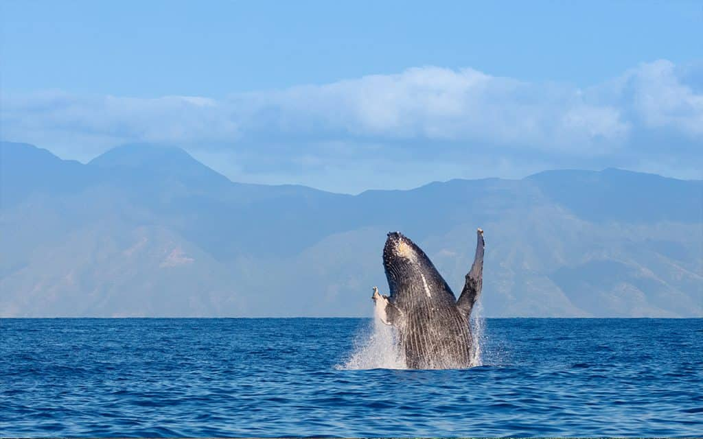 hawaii whale watching