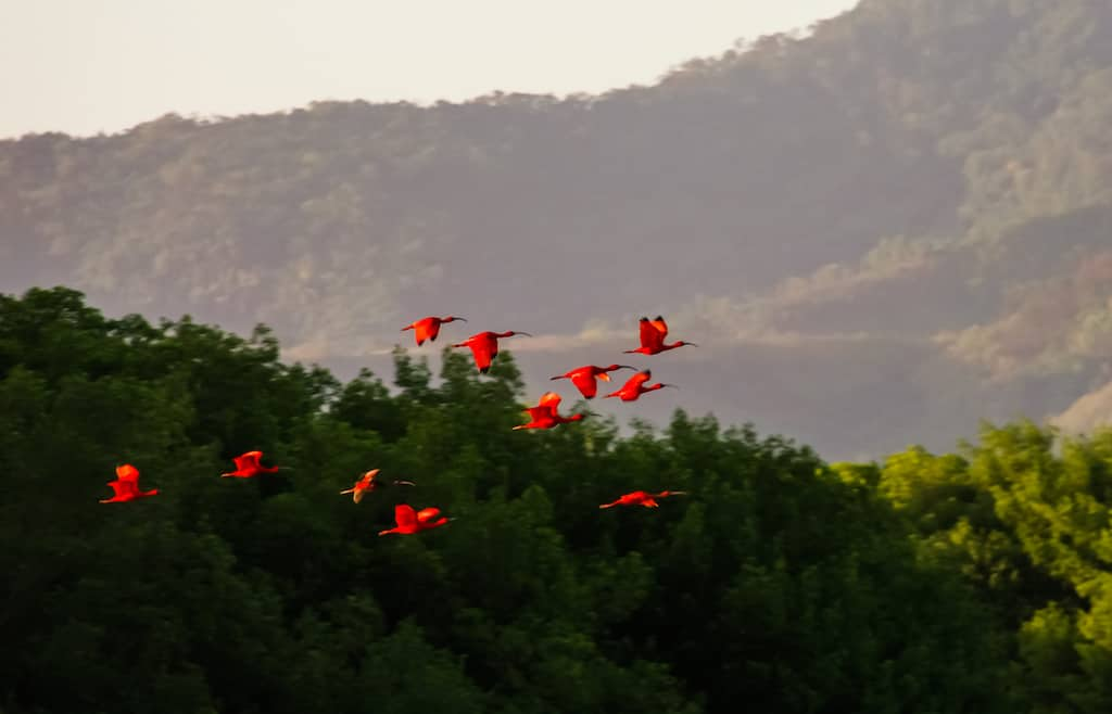 Flying Scarlet ibises in Caroni Swamp national park, TnT