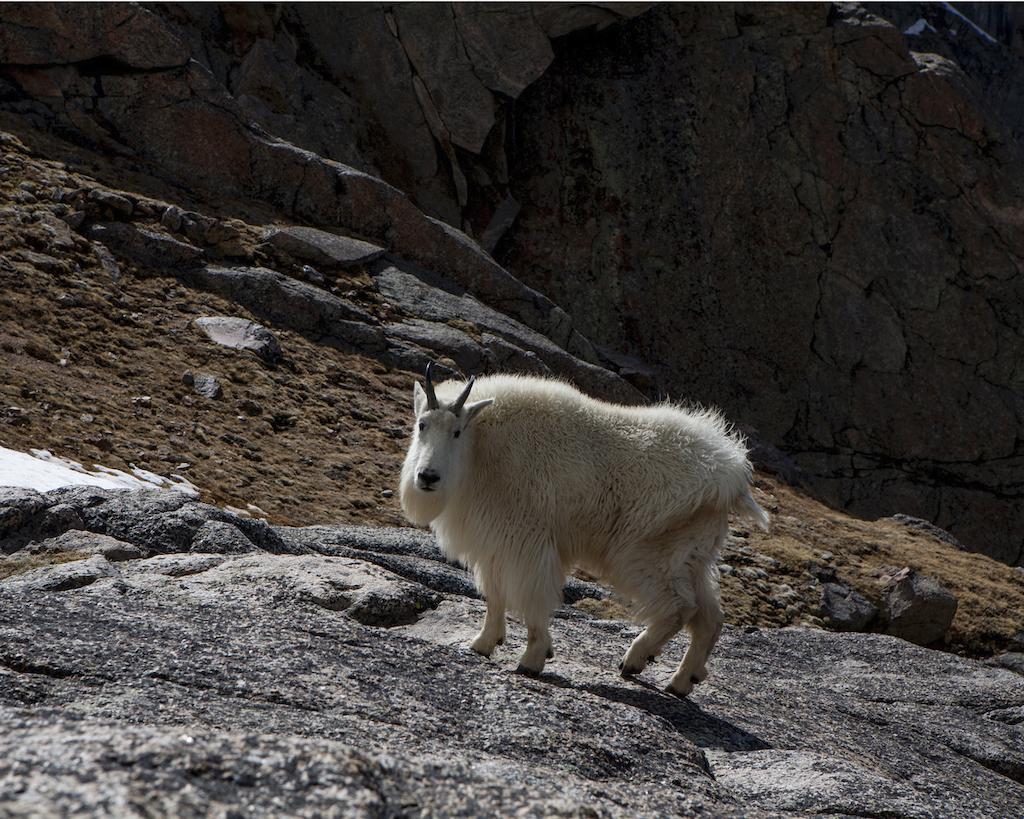 Goat near Summit Lake