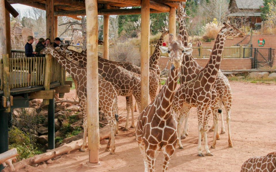 Colorado Springs with Kids - Giraffes at the Cheyenne Mountain Zoo.