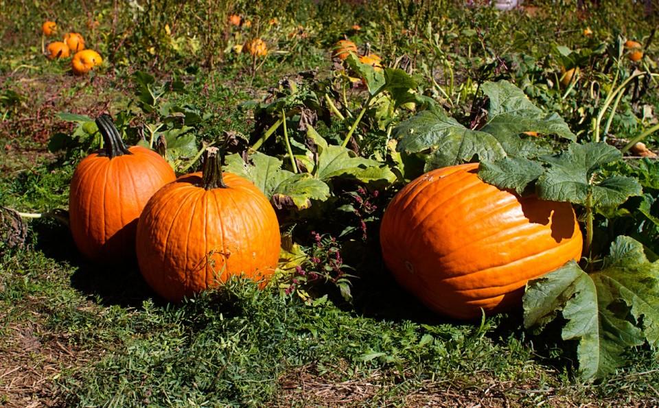 014-Pumpkins-Credit-Keryn-Means.jpg