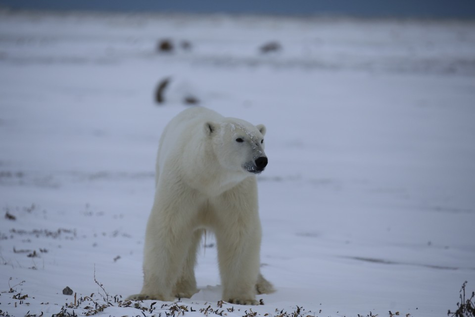 Polar Bear on the Arctic Safari